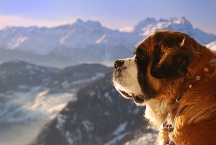 Barry the Saintly Saint Bernard