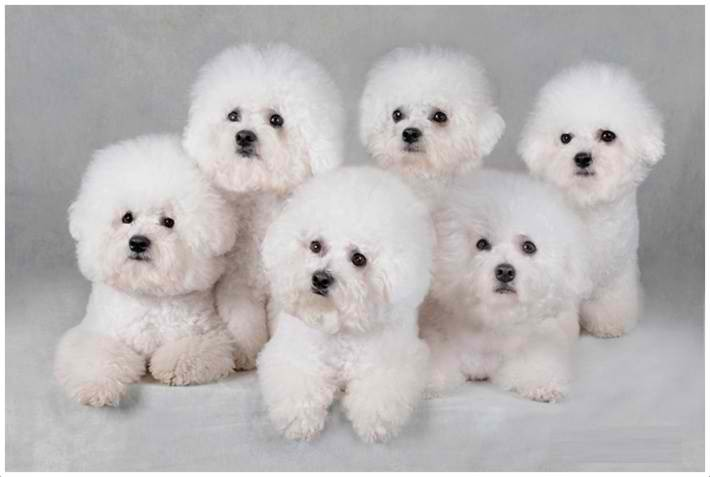 Bichons Frises (pronounced as bee-shawns free-says)