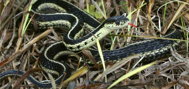 Photo Credit: http://www.ontarionature.org/protect/species/reptiles_and_amphibians/images/h_Crowley-Eastern-Gartersnake.jpg