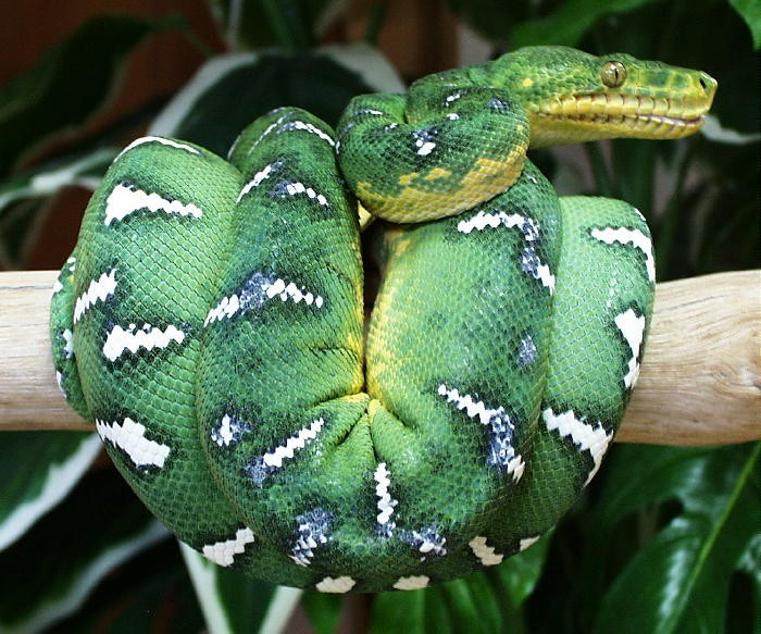 Photo Credit: http://www.skfny.com/wp-content/uploads/Emerald-Tree-Boa-Snake-3.jpg