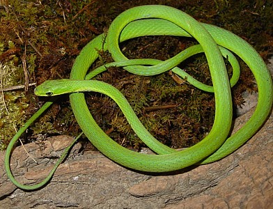 Photo Credit: https://www.marshall.edu/herp/Snakes/Pics/Rough_Greensnake_1.jpg