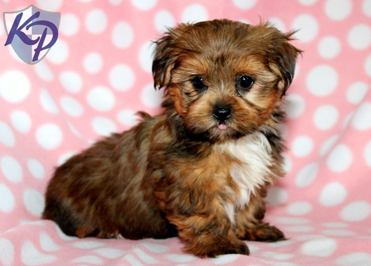 yorkie and shih tzu mix what you should know about yorkie shih tzu mix junee s magic 1144